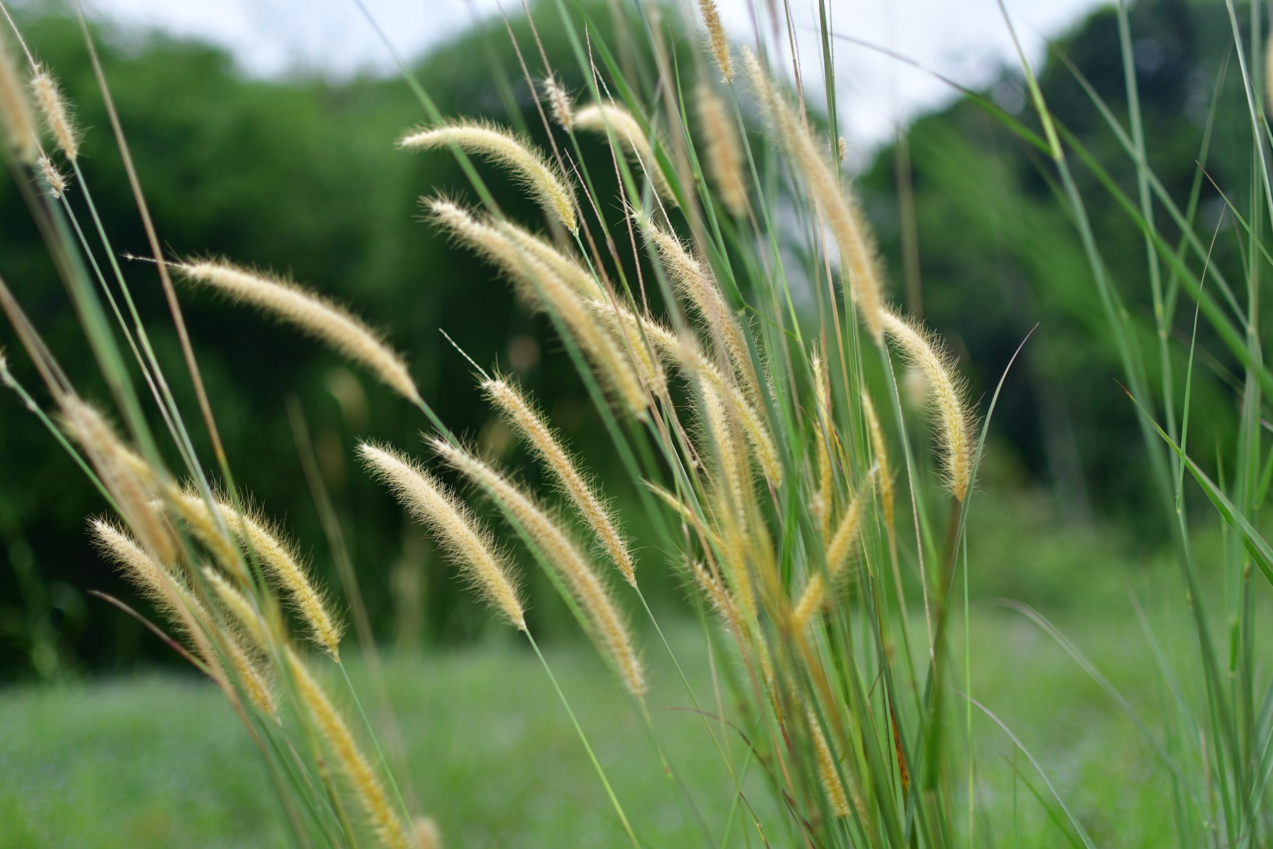 brown wheat grass blowing in the wind with a gorgeous green background.